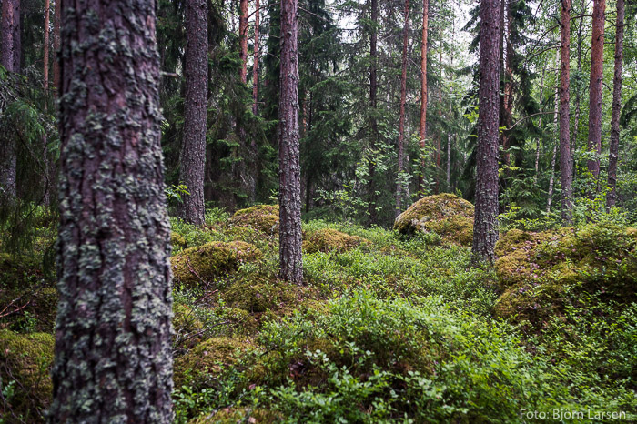 Skogen vid Östanbergets fot